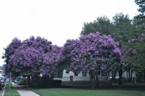 Lavender_Crape_Myrtle_Lee_Ann_Torrans-1-of-6